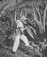Pulque wird aus einer Agave gesaugt (Mexiko 1912). (© Karl Weule)