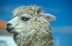 Alpaca (© Südamerika Reiseportal)