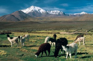 Alpacas im Lauca Nationalpark (© Südamerika Reiseportal)