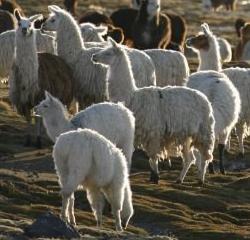 Lamas im Nationalpark Lauca, Chile (© Südamerika Reiseportal)