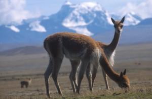 Lamas (© Südamerika Reiseportal)